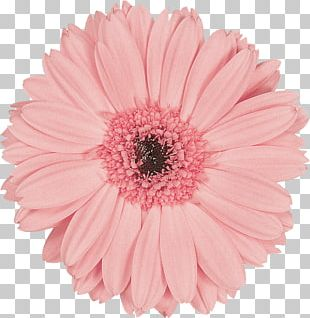 Transvaal Daisy Flower Preservation Pink Cut Flowers PNG