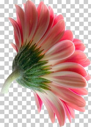 Transvaal Daisy Flower PNG