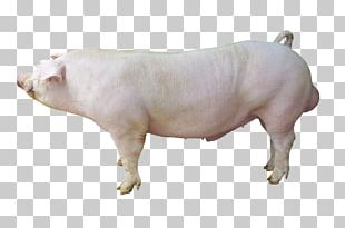 Duroc Pig Large White Pig Hampshire Pig Cattle Breed PNG