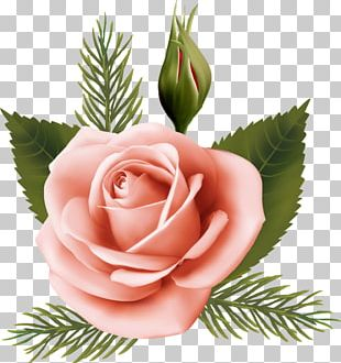 Garden Roses Cabbage Rose Pink Floral Design Cut Flowers PNG