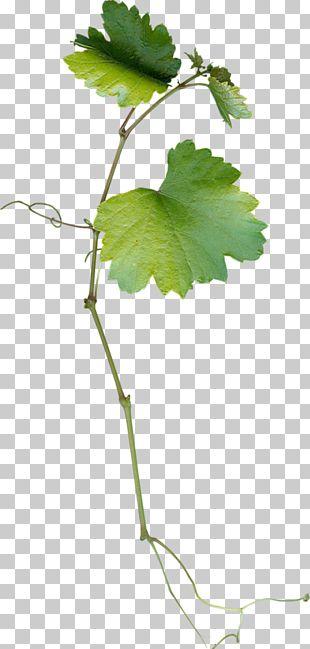 Grape Leaves Leaf Grapevines PNG