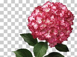 Hydrangea Pink M Petal Shrub Family PNG