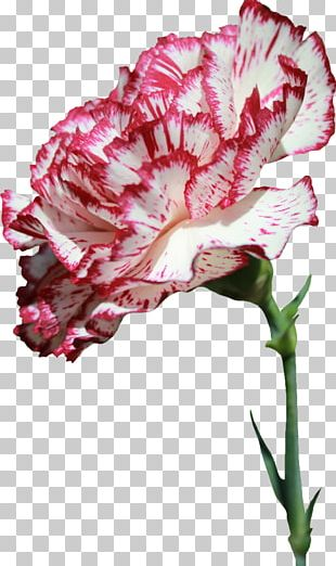 Carnation Cut Flowers Flower Bouquet PNG