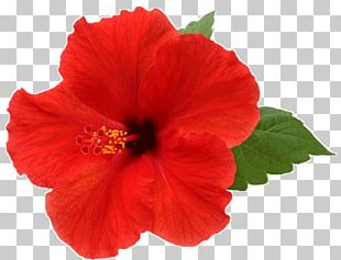 Flower Shoeblackplant Stock Photography Red Color PNG