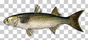 Sardine Milkfish Common Carp Fish Products PNG