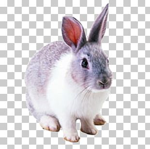 Netherland Dwarf Rabbit Hare Cottontail Rabbit Domestic Rabbit PNG