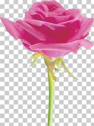 Garden Roses Beach Rose Cut Flowers Cabbage Rose Floribunda PNG