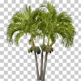 Arecaceae Asian Palmyra Palm Attalea Speciosa Date Palm Tree PNG