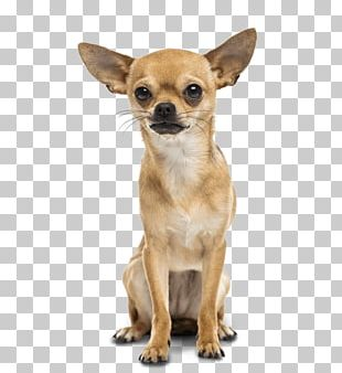 Chihuahua Great Dane Dachshund Poodle Puppy PNG