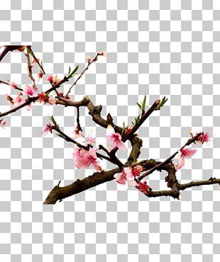 Twig Cherry Blossom Spring Plant Stem Petal PNG