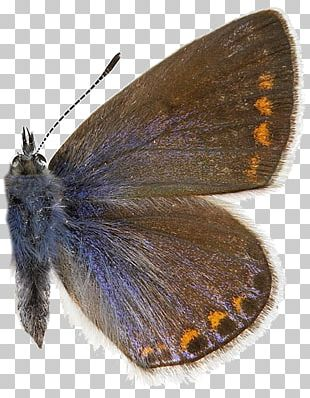 Brush Footed Butterfly PNG Images, Brush Footed Butterfly Clipart