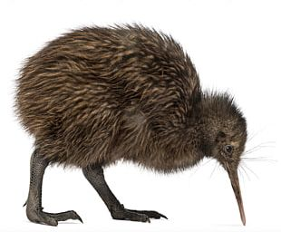 New Zealand Bird North Island Brown Kiwi Little Spotted Kiwi Common Ostrich PNG