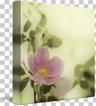 Still Life Photography Floral Design Rose Family PNG