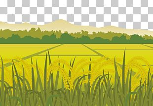 Rice Euclidean Paddy Field Harvest PNG