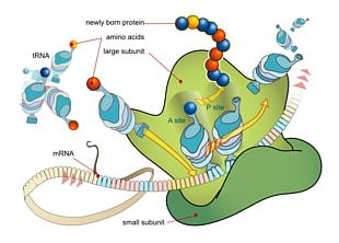Translation Messenger RNA Transcription Protein Biosynthesis PNG