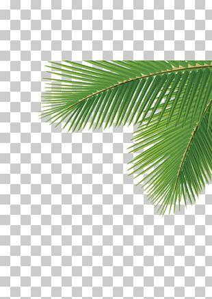 Arecaceae Leaf Tree Dasylirion Wheeleri PNG