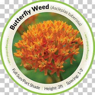 Mexican Butterfly Weed Swamp Milkweed Perennial Plant PNG
