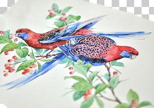 Crimson Rosella Bird Parrot Watercolor Painting Illustration PNG