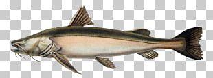 Gilded Catfish Amazon Rainforest Peruvian Amazonia PNG