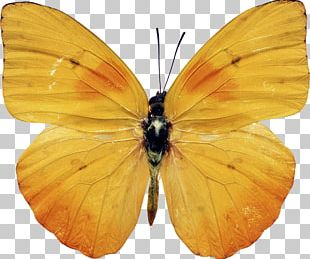 Butterfly Insect Yellow Photography PNG