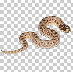 Boa Constrictor Hognose Snake Snakes Reptile Green Anaconda PNG