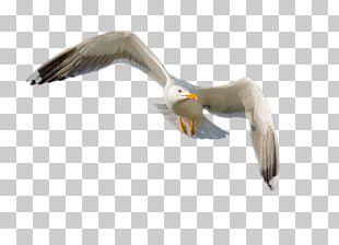 European Herring Gull Gulls Bird Beak Feather PNG