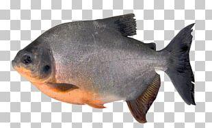 Tambaqui Fish Pacu Orinoco Piaractus Brachypomus PNG