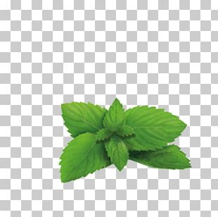 Green Tea Lemon Balm Plant Herb PNG