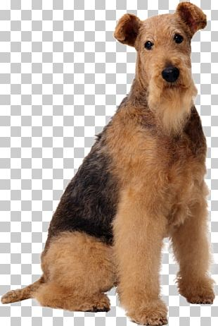 Airedale Terrier Old English Sheepdog Wire Hair Fox Terrier Maltese Dog Boston Terrier PNG