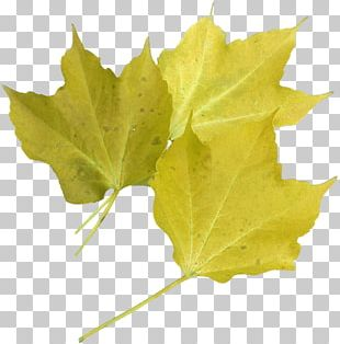 Leaf Red Maple Green Tree PNG