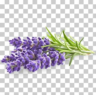 English Lavender Flower Lavender Oil Stock Photography PNG