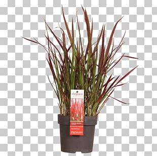 Flowerpot Ornamental Grass Ornamental Plant Chinese Fountain Grass Carex Hachijoensis PNG