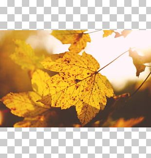 Maple Leaf Autumn Tree PNG
