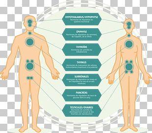 Endocrine System Endocrine Disruptor Endocrine Gland Homeostasis PNG