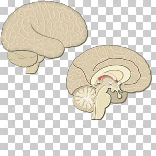 Lobes Of The Brain Cerebral Cortex Parietal Lobe Posterior Parietal Cortex Motor Cortex PNG