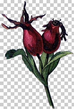 Rose Hip Dog-rose Rose Family Drawing PNG