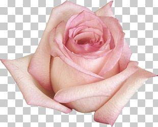 Beach Rose Flower Garden Roses Purple PNG