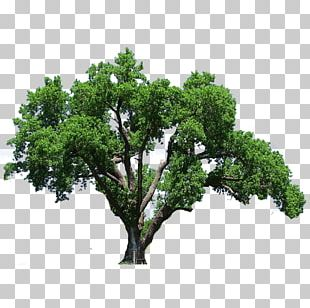Southern Live Oak Tree Flowering Dogwood PNG