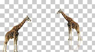 Lion Animal Northern Giraffe PNG
