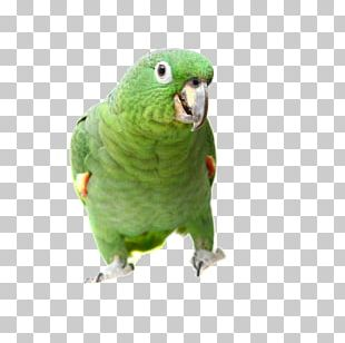True Parrot Bird Southern Mealy Amazon Turquoise-fronted Amazon Yellow-headed Amazon PNG