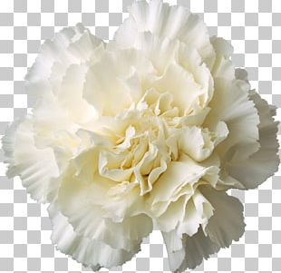 Carnation Cut Flowers White Yellow PNG