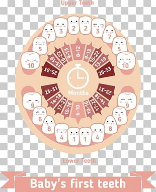 Teething Infant Deciduous Teeth Human Tooth PNG