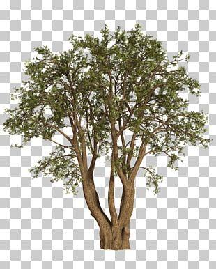 Tree Shrub Oak Willow PNG
