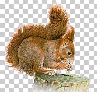 Eastern Gray Squirrel Basabizitza Animal PNG