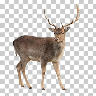 White-tailed Deer Moose Capreolinae PNG