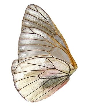 Butterfly Insect Wing Insect Wing PNG