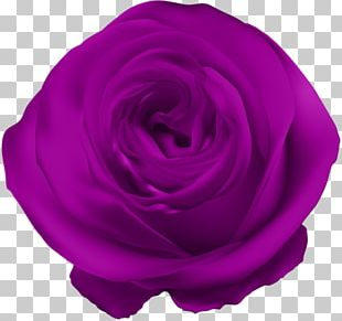 Blue Rose Flower Purple PNG