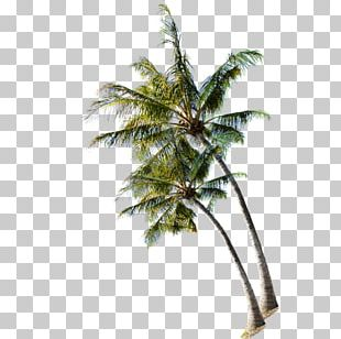 Beach Tree Coconut PNG