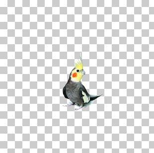 Cockatiel Parrot Parrot Bird Budgerigar PNG