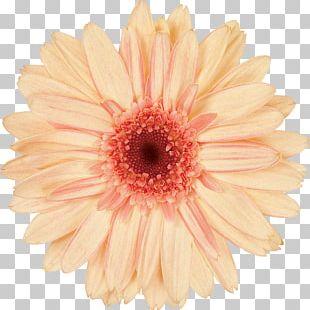 Daisy Family Transvaal Daisy Cut Flowers PNG